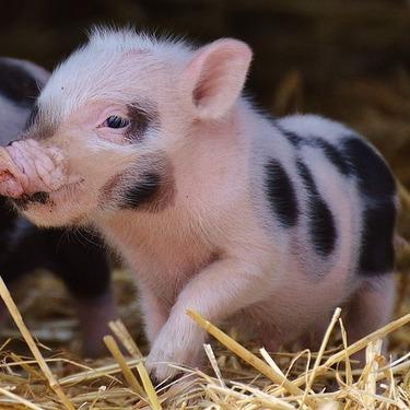 ミニブタを飼いたい!ミニブタの値段・価格や飼育に必要な餌についてご紹介