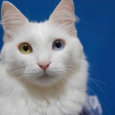 オッドアイはどんな猫に多い?その原因や視力や寿命への影響は?