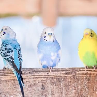 初心者におすすめの飼いやすい小鳥の種類ランキングTOP10をご紹介!