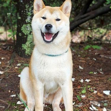 なぜ柴犬が海外で人気なのか?海外の反応とともにその理由をご紹介!