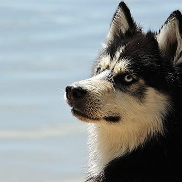 ハスキーボイスとはどういう意味?ハスキー犬と関係ある?