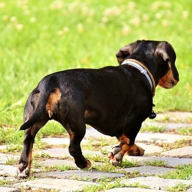 ダックスフンドってどんな犬?性格や飼い方・しつけについてご紹介!