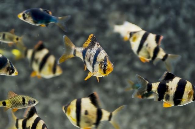 スマトラと混泳できる熱帯魚は?スマトラの寿命や種類・餌・繁殖についてご紹介!