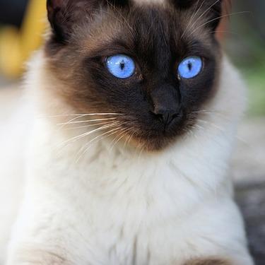 シャム猫はどんな性格なの?特徴や値段・価格と共にご紹介!