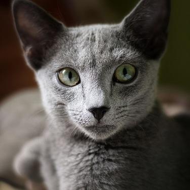 ロシアンブルーってどんな猫?性格や飼い方・値段についてご紹介!