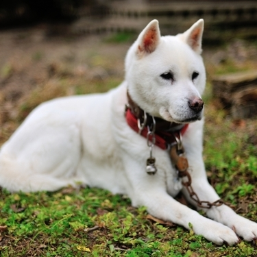 紀州犬とはどういう犬?しつけ方や性格・特徴についてご紹介!