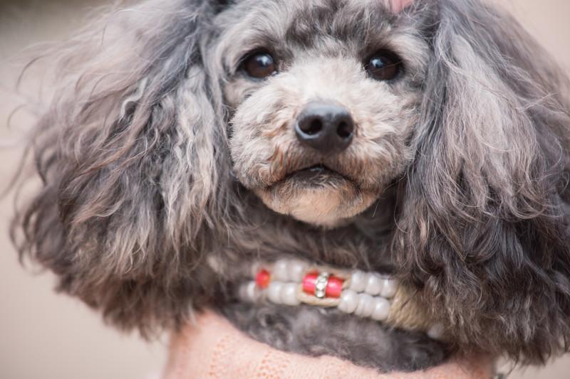 初心者に人気の室内犬のおすすめランキングTOP11をご紹介!