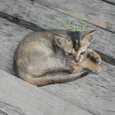 バーミーズとはどんな猫?性格や鳴き声・飼い方などをご紹介!