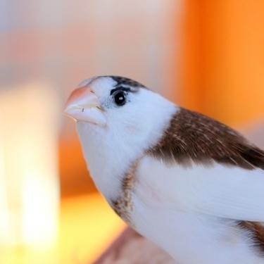ジュウシマツってどんな鳥?飼い方や寿命・値段・手乗りはできるのかご紹介