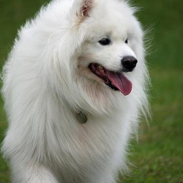 白くてかわいいサモエドってどんな犬?寿命や飼い方・価格をご紹介!