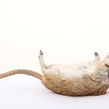 スナネズミの飼育方法と寿命・値段についてご紹介!スナネズミはなつくのか?
