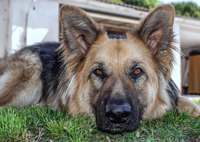 代表的な警察犬の犬種は?警察犬の仕事や報酬・警察犬になるにはどうしたらいいのか?