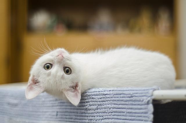 """Résultat de recherche d'images pour """"un joli chat blanc 意味"""""""
