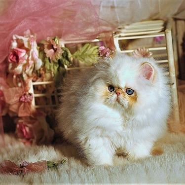ミヌエット(ナポレオン)はどんな猫?性格・価格相場、画像をご紹介!