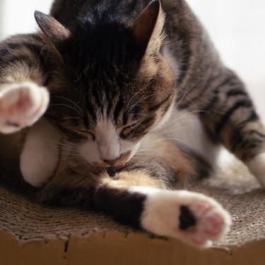 猫が毛づくろい(グルーミング)する理由とは?猫が舐める理由をご紹介!