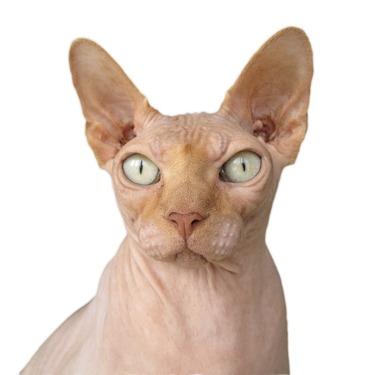 猫のスフィンクスの性格・値段は?毛のない猫なので猫アレルギーにはならないのか?
