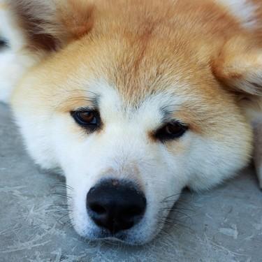 秋田犬と柴犬はとても似てるけど違いは何?秋田犬と柴犬の違いをご紹介!