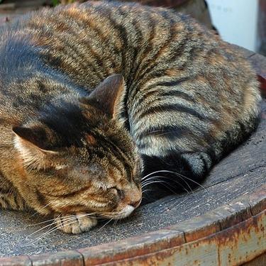 サビ猫は汚い猫?可愛いサビ猫の魅力をご紹介!