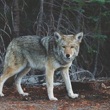 犬と狼の違いとは?違いを知って見分けられるようになろう!