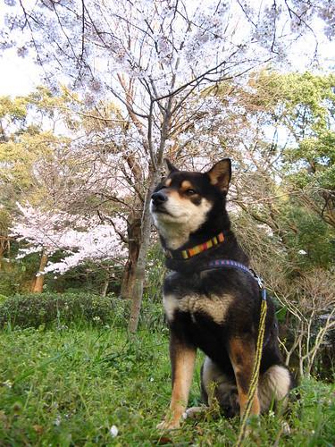 まさかの狼に近い犬は柴犬?狼に近い犬種ランキングをご紹介!