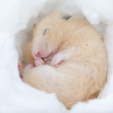 ハムスターが冬眠?冬眠の見分け方と回復までの流れを紹介!