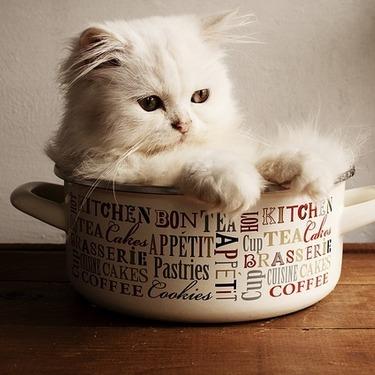 ペルシャ猫の性格は?ペルシャ猫の性格・値段・画像をご紹介!