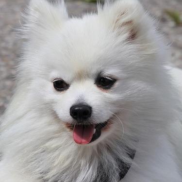【画像あり】ポメラニアンのカットの種類8選を紹介!柴犬カット/サマーカット/たぬきカット