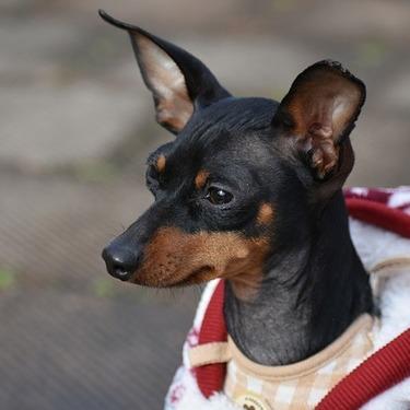 ミニチュアピンシャーとはどんな犬?性格・値段・飼い方をご紹介!