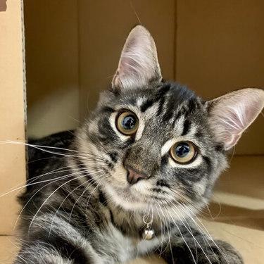 サイベリアンとはどんな猫?特徴・性格・画像を紹介!