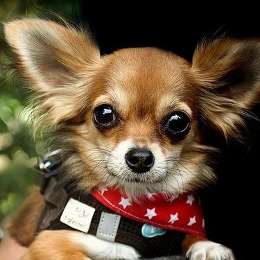犬の「チワワ」を英語で言うと?チワワを使った例文を紹介!