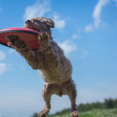 犬へのフリスビーの教え方をご紹介!【練習/投げ方/コツ】