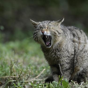 リビアヤマネコってどんな猫?イエネコの祖先のリビア猫に迫る!