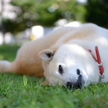 柴犬がなぜ可愛いのか真剣に考えてみた。【画像あり】
