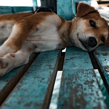 【画像あり】拒否柴とは?なぜ柴犬はイヤイヤするのか?