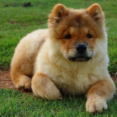 【衝撃!!】チャウチャウは中国で食用犬だった?