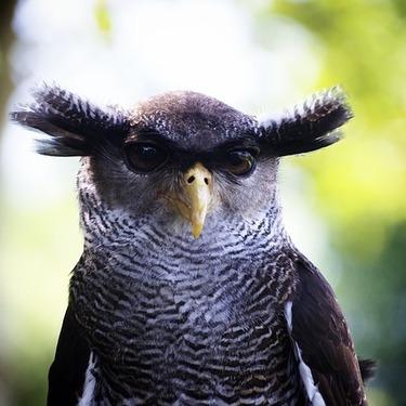 フクロウが「シュッ」と細くなる瞬間の動画を紹介!なぜ細くなるのか?