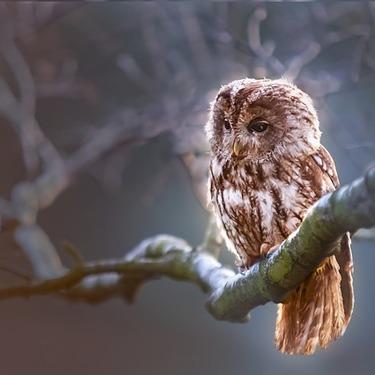 フクロウの鳴き声の種類と意味を紹介!【ホーホー/ギャーギャー】
