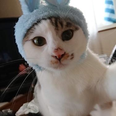 キジ白(キジトラ白)はどんな猫?性格・寿命・英語で何と言うかご紹介!