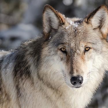 狼(オオカミ)の大きさ・特徴・生態を紹介!最大最強の狼の種類とは?