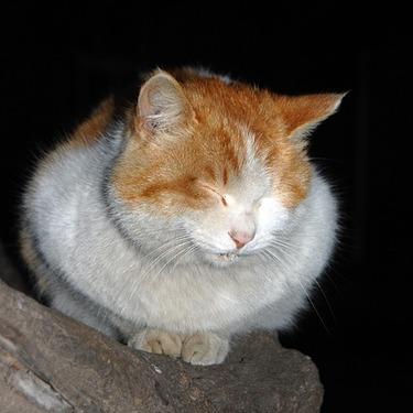 【デブ猫大集合】可愛いデブ猫・ぽっちゃり猫の写真・動画50選をご紹介!