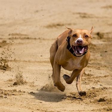 足の速い犬種ランキングTOP10をご紹介!世界一速い犬とは?