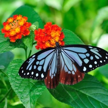 なぜ蝶(チョウ)の数え方は1頭、2頭なのか?数え方の由来を紹介!