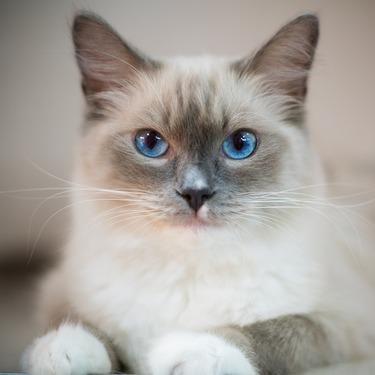 猫のラグドールはたぬきに似てる?画像や動画で比較してみました!
