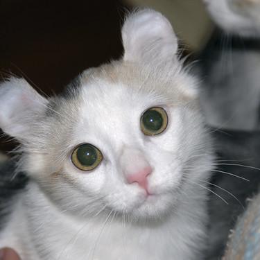 キンカロー(マンチカール)の子猫・大人の写真や性格・価格を紹介!