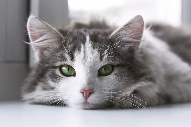 長毛種の猫の種類7選!長毛種のお手入れのコツをご紹介