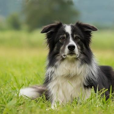 ボーダーコリーの大きさは?成犬・子犬での大きさを比較して紹介!