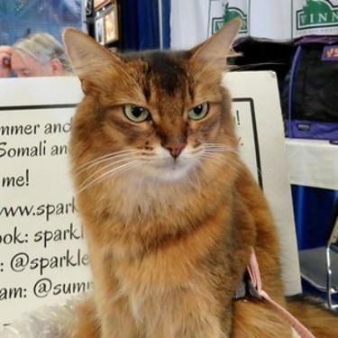 【画像あり】ソマリとはどんな猫?性格・毛色の種類・値段を紹介!
