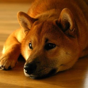 柴犬を英語で何と言う?海外での柴犬の呼び方を紹介!