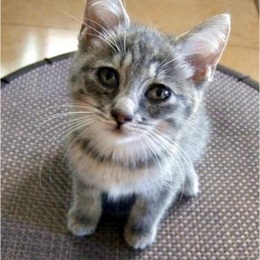 エジプシャンマウとはどんな猫?特徴・値段・鳴き声を紹介!【画像あり】