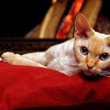 デボンレックスとはどんな猫?性格・大きさを紹介【珍しい猫/ブリーダー】